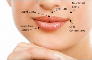Anatomy of the lips